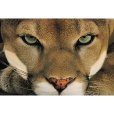 Cougar Face Color Decal