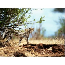 Big Cat 1 photo wall decal