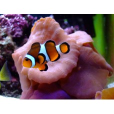 clown fish color fish decal 1