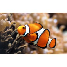 clown fish color fish decal 2
