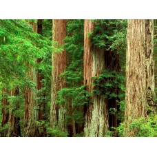 Forest and Trees Vinyl Wall Decals 003