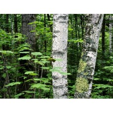 Forest and Trees Vinyl Wall Decals 005